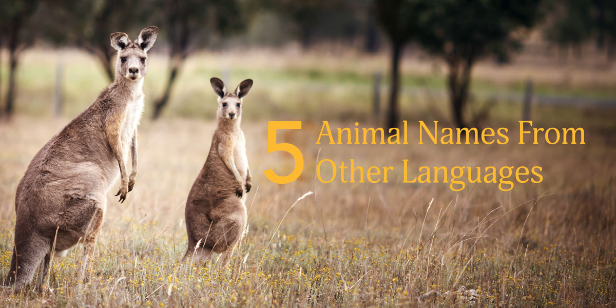 kangaroo, animals, language